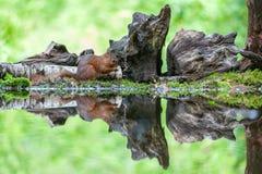 红松鼠, eekhoorn 图库摄影