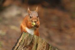 红松鼠& x28; 中型松鼠vulgaris& x29;哺养在橡子 免版税库存照片