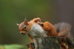红松鼠& x28; 中型松鼠vulgaris& x29; 库存图片