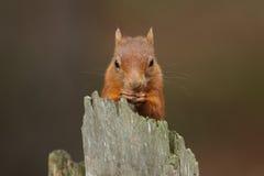 红松鼠& x28; 中型松鼠vulgaris& x29; 免版税图库摄影