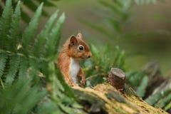 红松鼠& x28; 中型松鼠vulgaris& x29; 库存照片