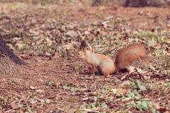 红松鼠(寻常的中型松鼠) 免版税库存图片