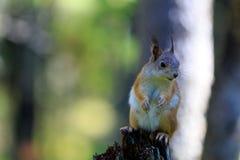 红松鼠-有利位置 免版税库存图片