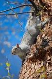 红松鼠结构树 库存照片