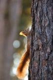 红松鼠结构树 免版税库存照片