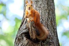红松鼠结构树 免版税库存图片