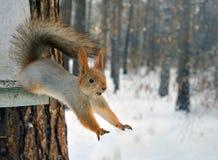 红松鼠从树跳 图库摄影