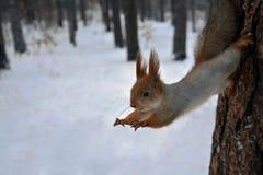 红松鼠从树跳 库存照片