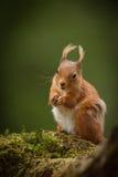 红松鼠 免版税库存照片