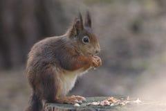 红松鼠 图库摄影