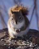 红松鼠 库存图片