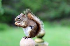 红松鼠 免版税图库摄影