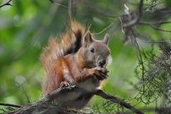 红松鼠 免版税库存图片