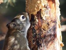红松鼠Hudsonicus或红松鼠 免版税图库摄影