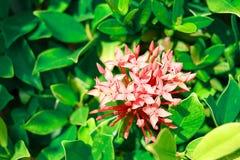 红桃红色花背景在夏天 免版税库存图片
