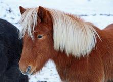 红棕色冰岛马 库存图片