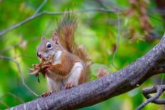 红棕色和白色灰鼠坐吃叶茂盛食物的树枝 免版税库存图片