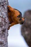 红棕色灰鼠 免版税图库摄影