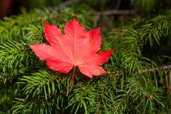 红槭叶子休息 免版税库存图片