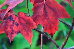 红槭叶子在一秋天天 免版税库存图片