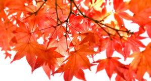 红槭叶子在多云天在秋天,选择聚焦 库存图片