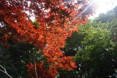 红槭叶子在庭院里 库存图片
