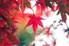 红槭叶子在秋天季节期间的日本在对11月的9月之间 库存照片