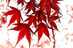红槭叶子在秋天 库存照片