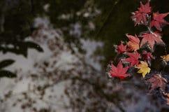 红槭叶子浮游物在清楚的水中 库存图片
