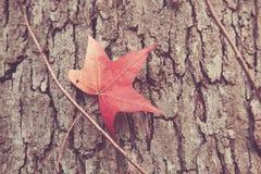 红槭叶子特写镜头 免版税库存图片