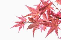 红槭叶子特写镜头。 库存照片