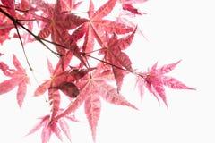 红槭叶子特写镜头。 免版税库存图片