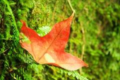 红槭叶子特写镜头  图库摄影