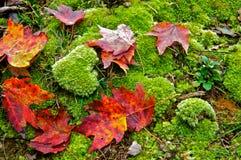 红槭叶子驱散在青苔报道了地面 免版税库存图片