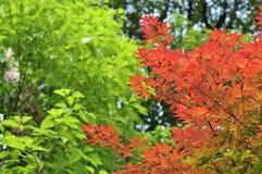 红槭叶子 免版税图库摄影