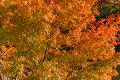 红槭在日本庭院里 库存照片