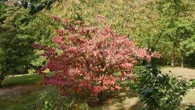 红槭在日本庭院里 免版税库存照片