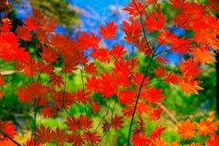 红槭在秋天季节离开与天空地板和绿色树 库存照片