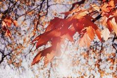 红槭在晴朗的日落光离开 秋天背景美好的例证向量 小阳春 免版税库存图片