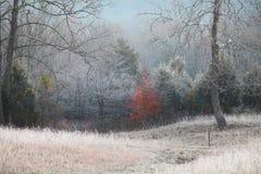 红槭树保持它的叶子在冷淡的早晨 库存图片