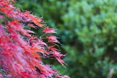 红槭树在一11月天 库存图片