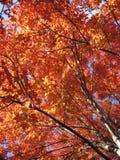 红槭树木天棚在11月 库存照片