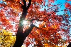 红槭树离开秋季背后照明 库存图片