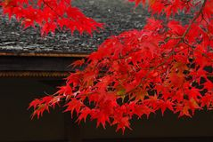 红槭留下屋顶 库存图片