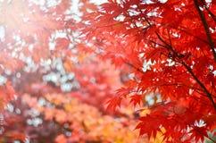 红槭的被弄脏的图象在秋天树背景中 软绵绵地集中 免版税库存照片