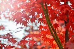 红槭的被弄脏的图象在秋天树背景中 软绵绵地集中 库存图片