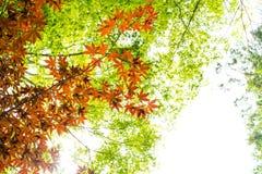 红槭离开与蓝天被弄脏的背景,采取从日本 免版税库存图片