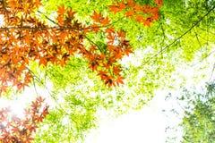 红槭离开与蓝天被弄脏的背景,采取从日本 免版税库存照片