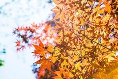 红槭离开与蓝天被弄脏的背景,采取从日本 图库摄影