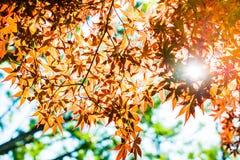 红槭离开与蓝天被弄脏的背景,采取从日本 库存照片